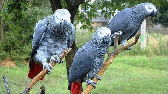 Жительница Ветковского района заплатила 7.000 долларов за несуществующих попугаев из Камеруна