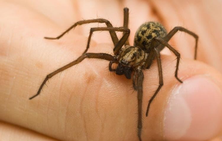 пауки, живущие в доме