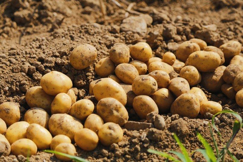 Под Бобруйском агрохозяйство «похоронило» в поле 32 тонны сгнившей картошки. Рассказываем, что произошло