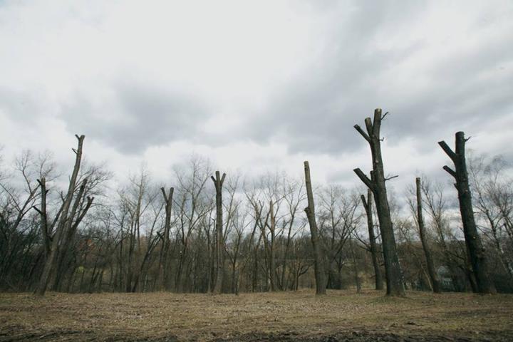 За три уничтоженных дерева в Бобруйске коммунальники заплатят почти 1,5 тысячи рублей — так решил суд